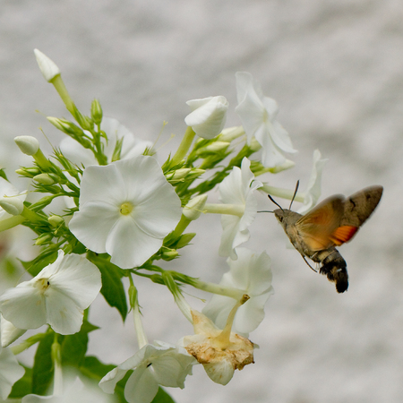 sucking: Macroglossum stellatarum (Hummingbird Hawk-moth) on white phlox