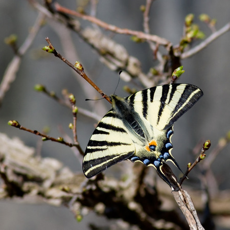 hairy pear: Scarce swallowtail butterfly in natural habitat (Iphiclides podalirius)