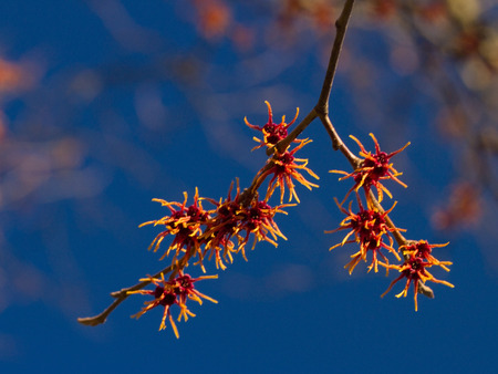 hazel: Flowering hybrid witch hazel Hamamelis x intermedia
