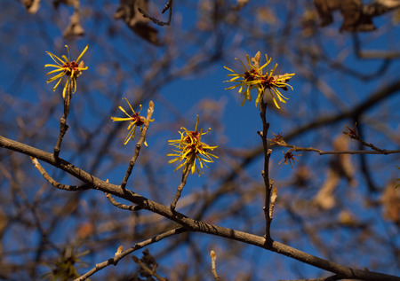 mollis: Flowering Hamamelis mollis