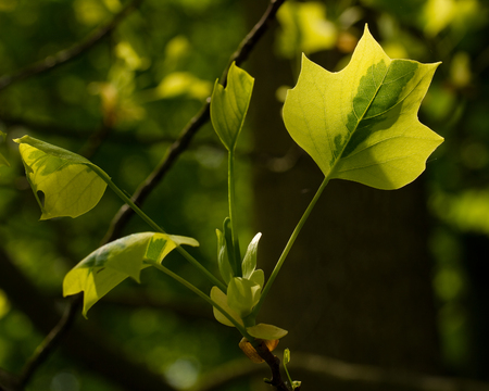 annealed: Variegated American tulip tree (Liriodendron tulipifera) Stock Photo