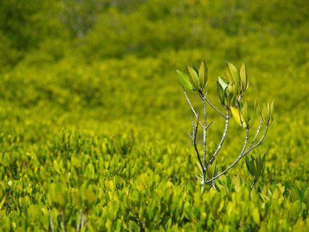 Mangrove forest field1