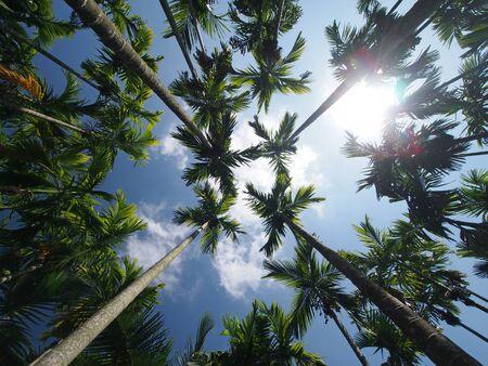 Betel Palm Field