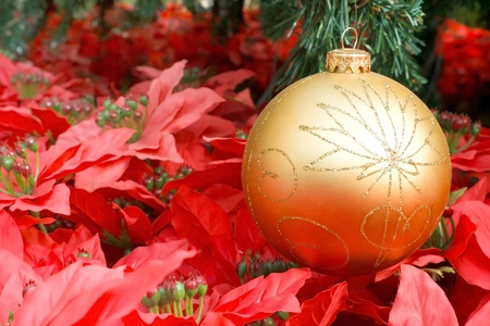 Golden Christmas ball hanging on green spruce branch over red Poinsettia(Christmas flower) photo