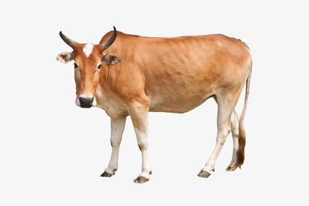 closeup cow face: Brown cow isolated on white background