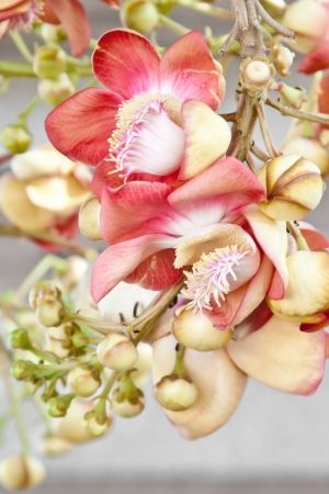 Beautiful, exotic and fragrant Cannonball flower is found in Asia, Africa and in South America in Amazon rainforests
