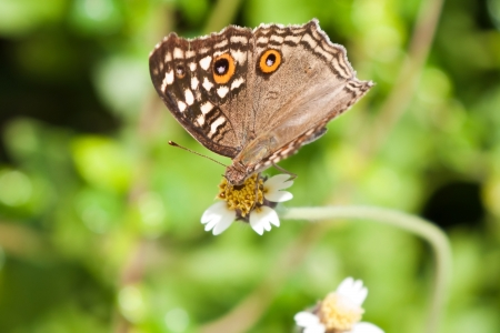 Beautiful brown butterfly with orange spots on flower  Satyridae  Stock Photo - 16692763
