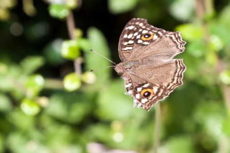 Beautiful brown butterfly with orange spots on flower  Satyridae