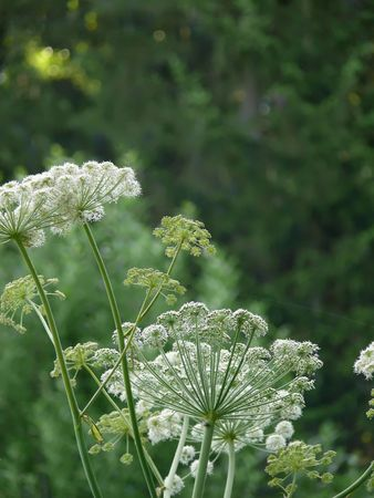 Angelica. Pestles and stamens. A field flower.