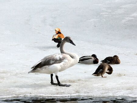 waddling: Young swan. A baby bird of a swan going on pond ice. The Moscow zoo.