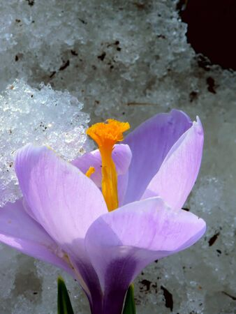 Spring flower. A crocus. Snow.  Stock Photo