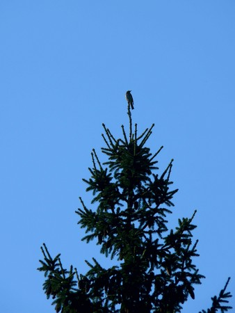 Bird. A fur-tree.  photo