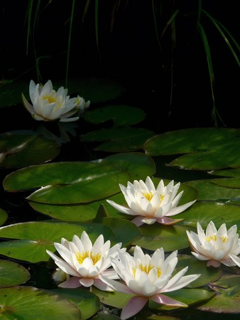 White waterlily. A pond.