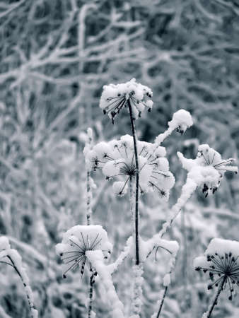 Winter flower. Snow.  photo