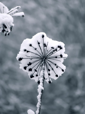 Winter flower. Snow.