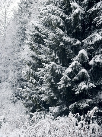 Winter forest. Snow.