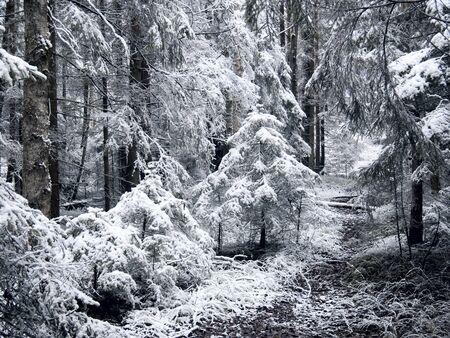 bosque con nieve: Bosque de invierno. Snow.