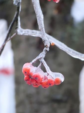 Berries. Ice. Sleet. photo