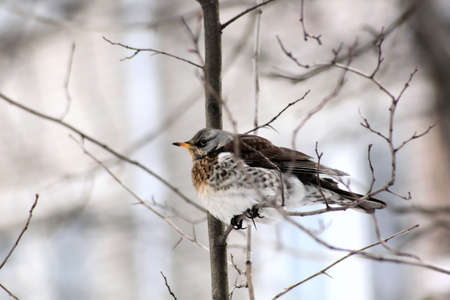 Bird. Spring. Fieldfare sitting on a tree branch. Stock Photo - 9570723