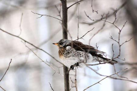 Bird. Spring. Fieldfare sitting on a tree branch. Stock Photo - 9570723