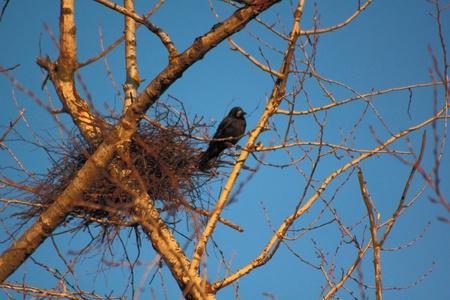 Ravens. Spring. Nests.