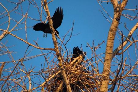 Ravens. Spring. Nests. photo