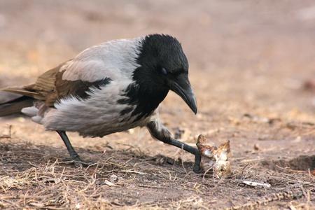 Raven.  photo