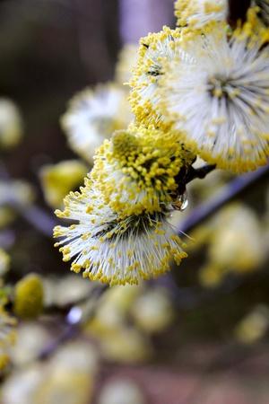 Flowering willow.