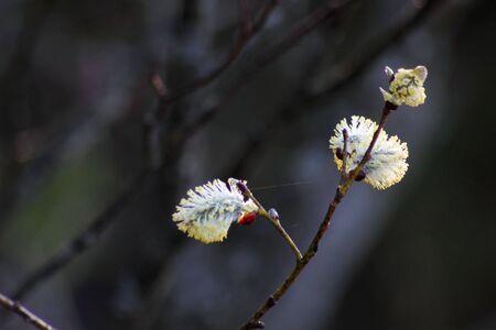 Flowering willow.  photo