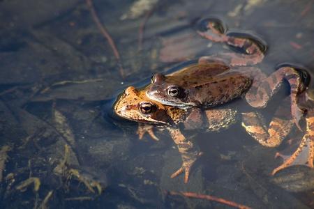 webfoot: Two frogs. Love.