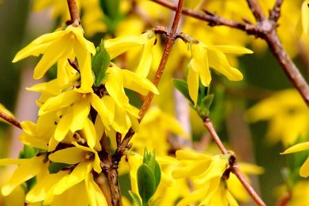 Yellow spring flowers. Forsythia.