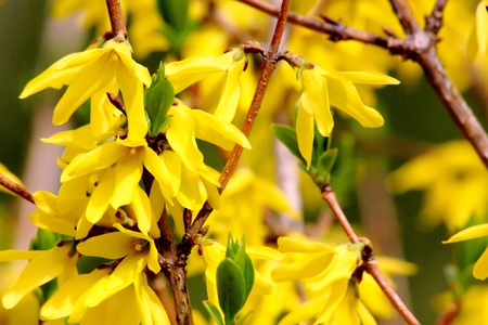 Yellow spring flowers. Forsythia.