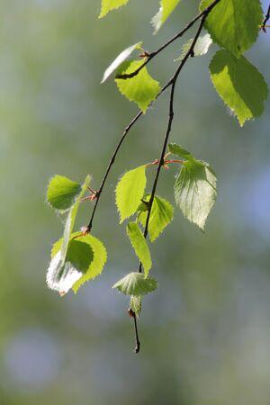 Birch leaves.