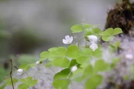 fluff: Poplar pelusa. Forest. Hierba joven. Foto de archivo