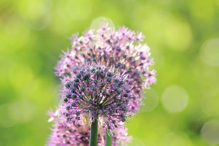 Spring flower. Decorative onion.  Stock Photo - 10928559