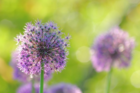 Spring flower. Decorative onion.  photo