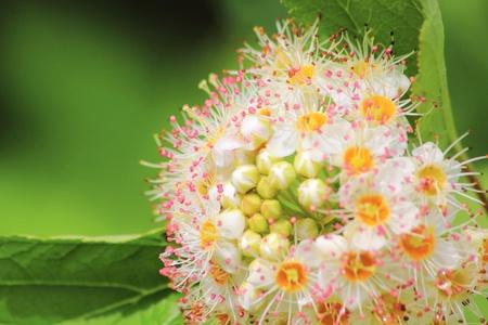 Viburnum. White flower.
