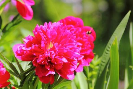 Peony. A summer flower.  Stock Photo