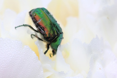 Rose chafer. Summer bug. Flower.  photo