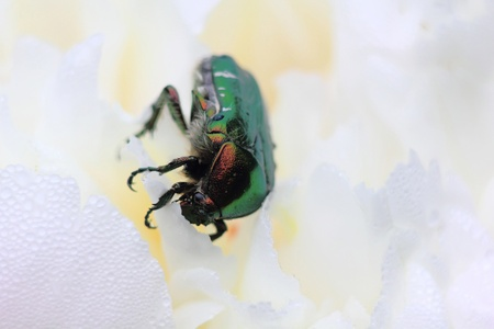 Rose chafer. Summer bug. Flower.  photo