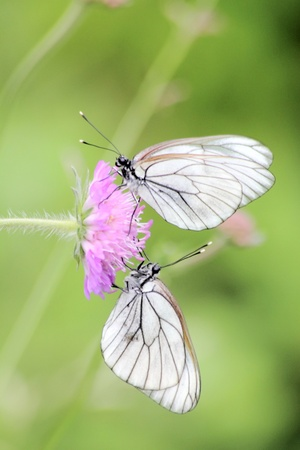 Butterflies. A summer flower.  photo