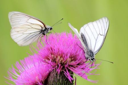 Butterflies. A summer flower.