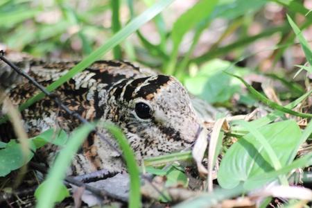 Woodcock.  Stock Photo - 10972183