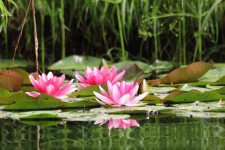 lily pad: Red waterlily. Water flower.  Stock Photo