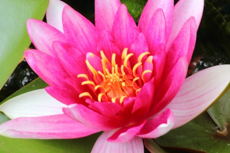 Red waterlily. Water flower.  photo