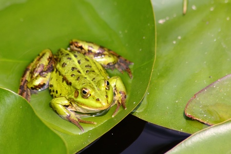 Green frog. Pond.  photo