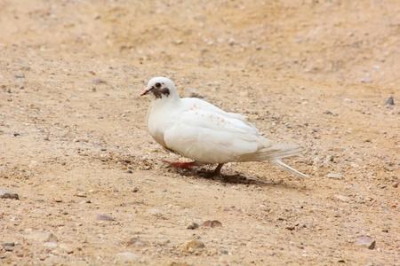 White pigeon.  photo