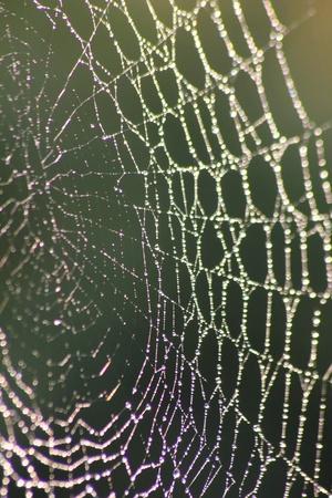 Web. Dew drops on a web. Stock Photo - 11217226