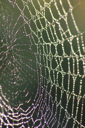 spiderweb: Web. Dew drops on a web.  Stock Photo