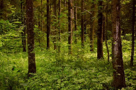 Dark forest.  Stock Photo - 11217326